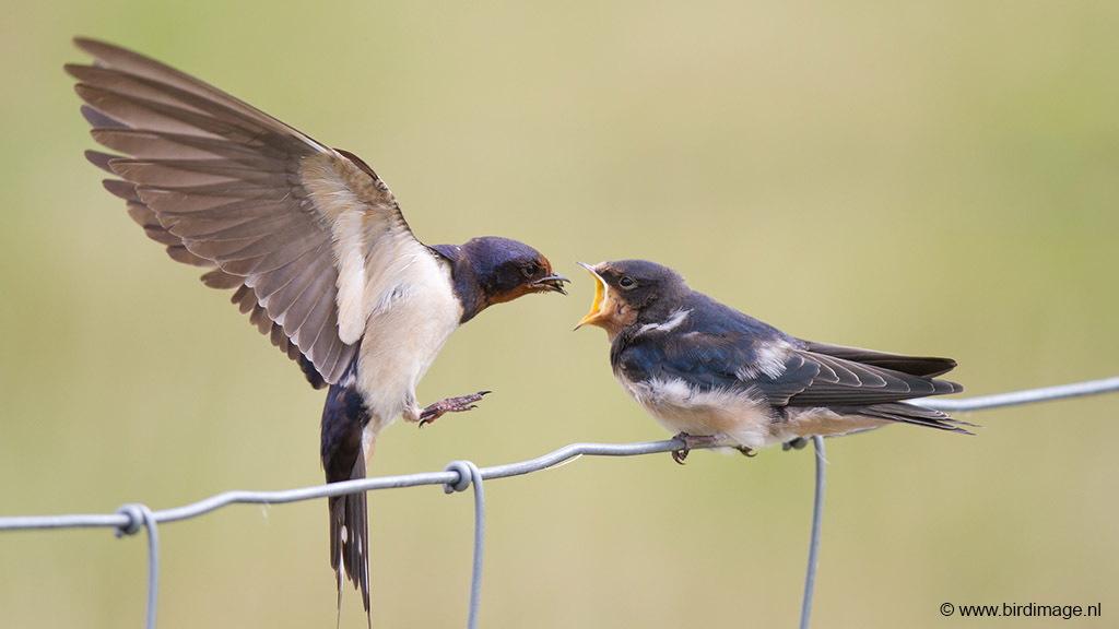 Boerenzwaluw – Barnswallow