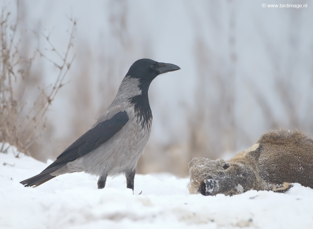 Bonte kraai – Hooded Crow