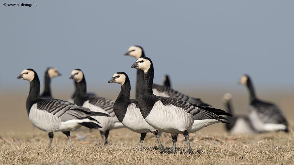 Brandgans – Barnacle Goose