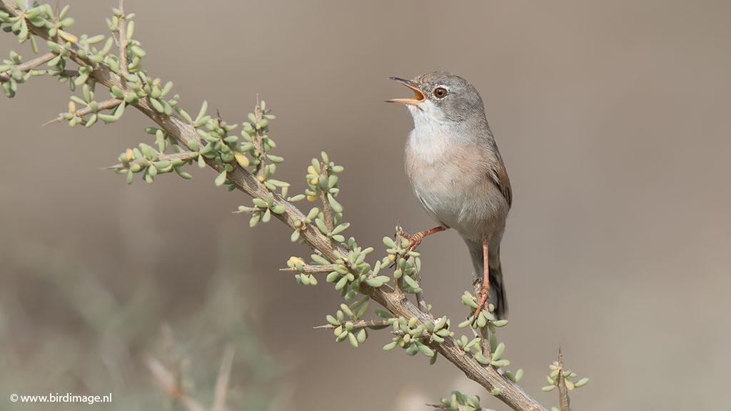 Brilgrasmus – Spectacled Warbler