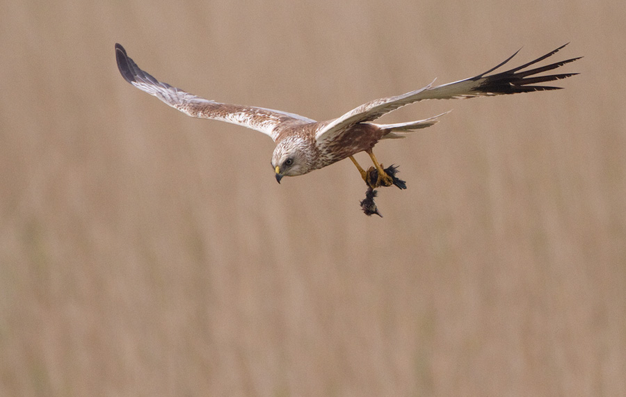 Bruine kiekendief – Western Marsh Harrier