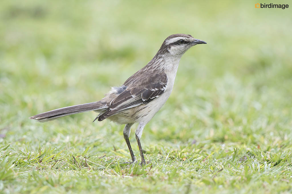 Camposspotlijster – Chalk-browed Mockingbird