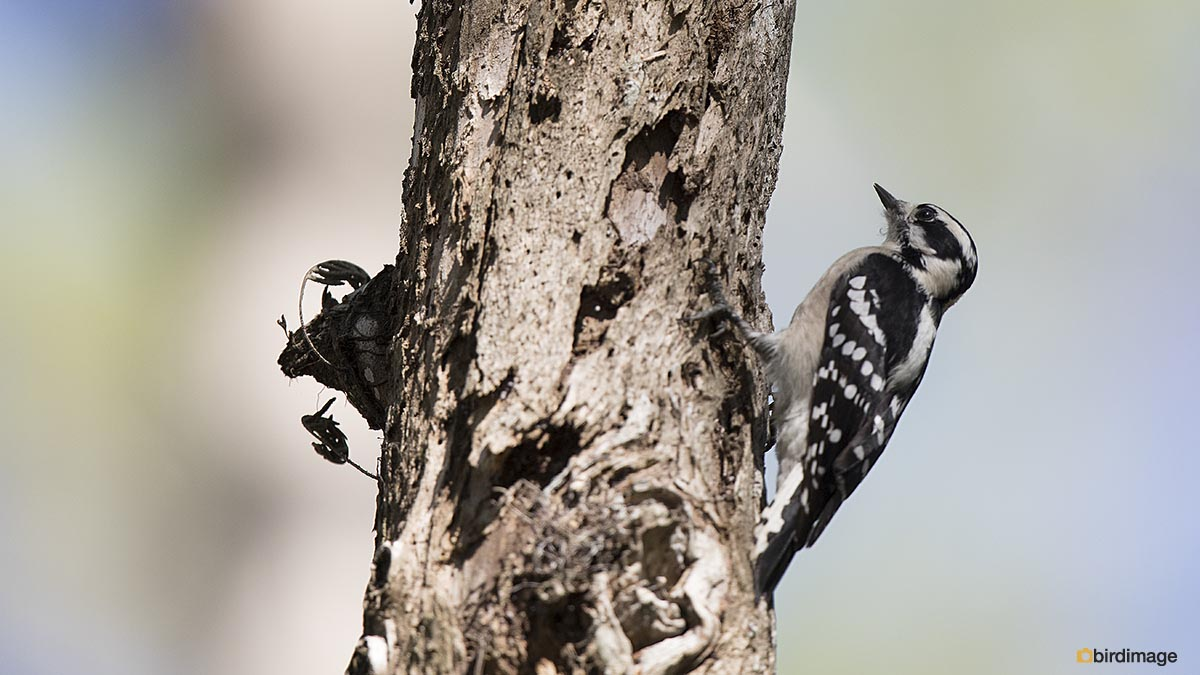 Donsspecht – Downy Woodpecker