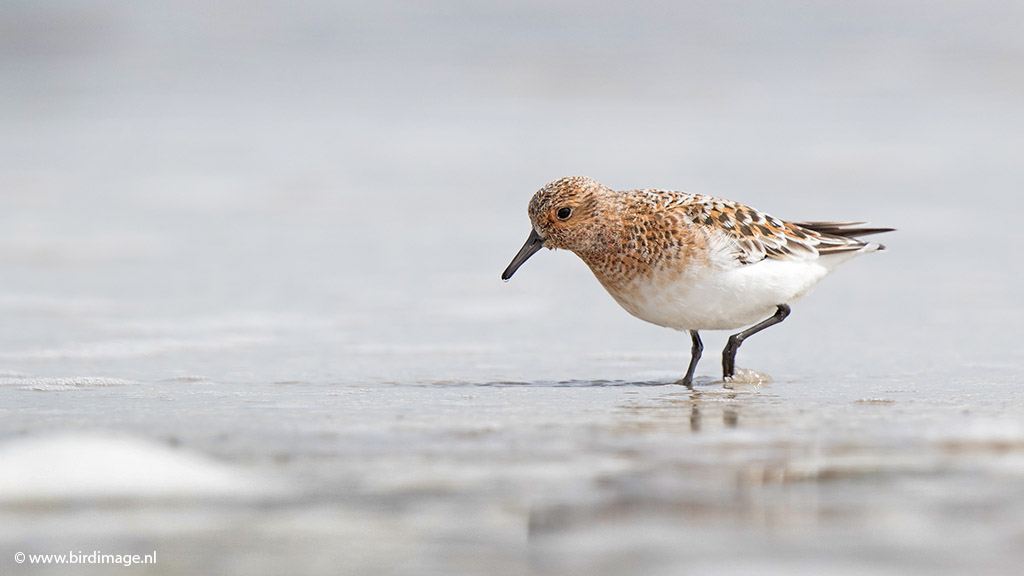 Drieteenstrandloper – Sanderling