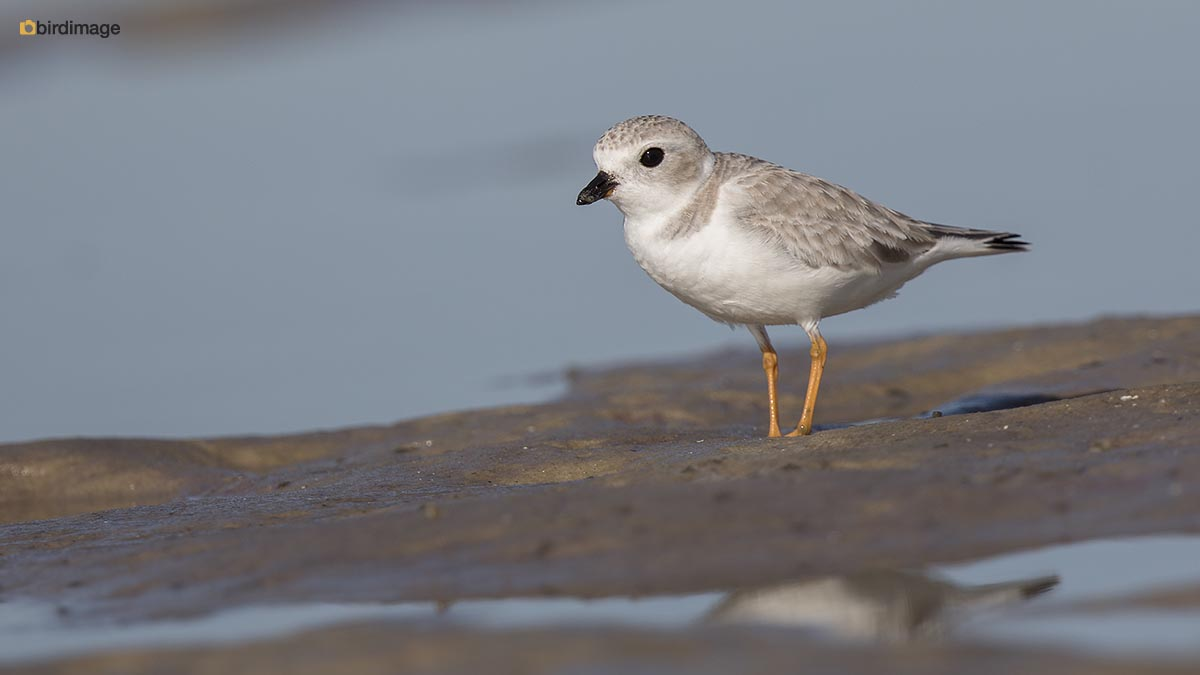 Dwergplevier – Piping Plover