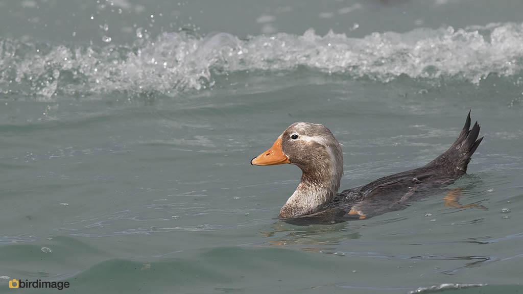 Falklandbooteend – Falkland Steamer Duck