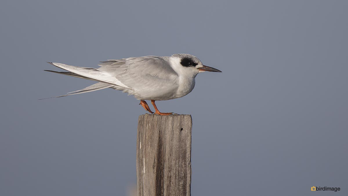Forsters stern – Forster's tern