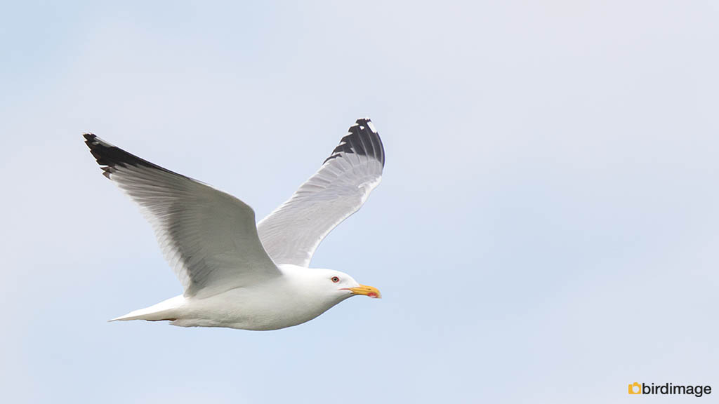 Geelpootmeeuw – Yellow-legged Gull