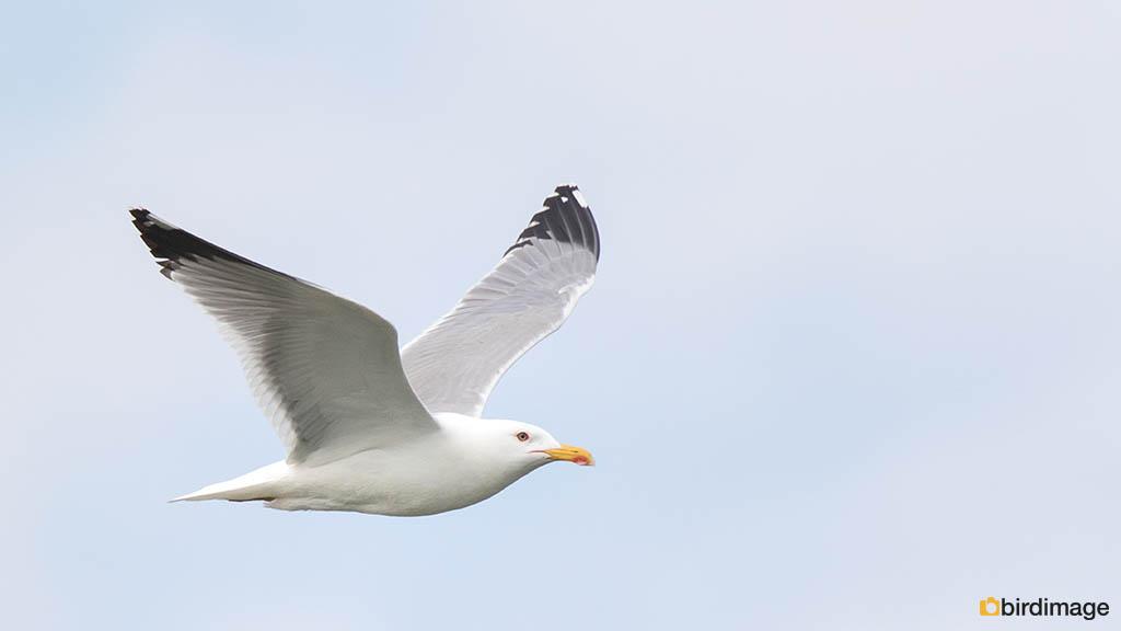 Geelpootmeeuw – Yellow-legged Gull