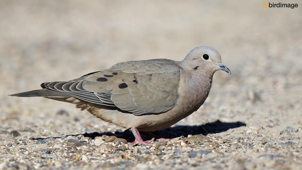 Geoorde Treurduif – Eared Dove