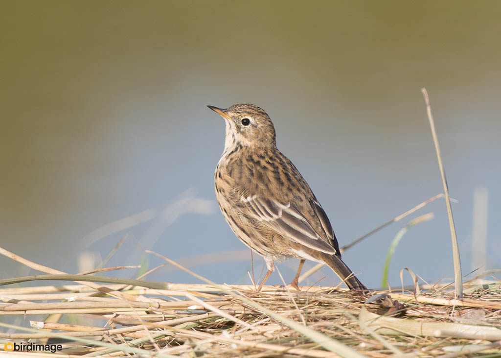 Graspieper – Meadow Pipit