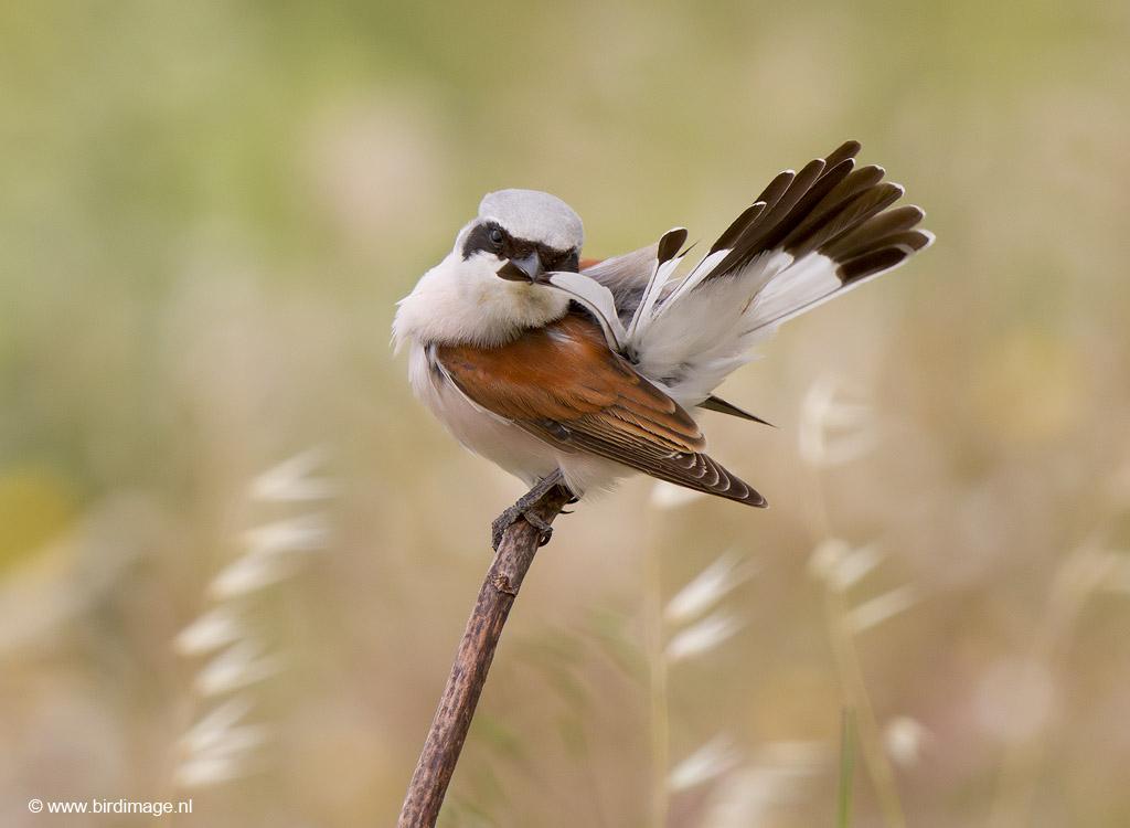 Grauwe klauwier – Red-backed Shrike