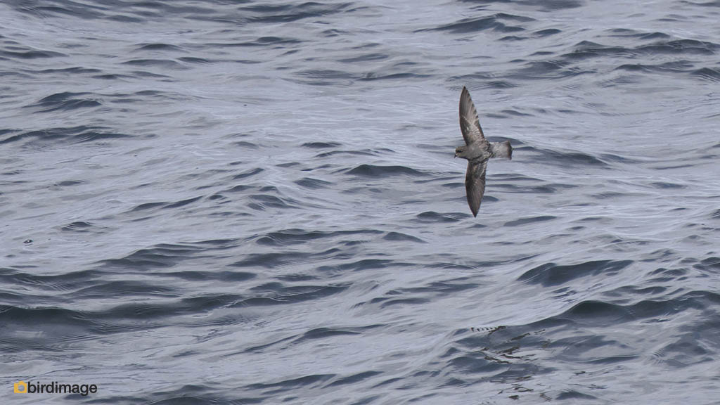 Grijsrugstormvogeltje – Grey-backed Storm Petrel
