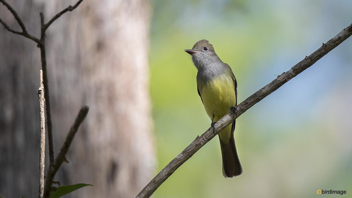 Grote kuiftiran – Great Crested Flycatcher