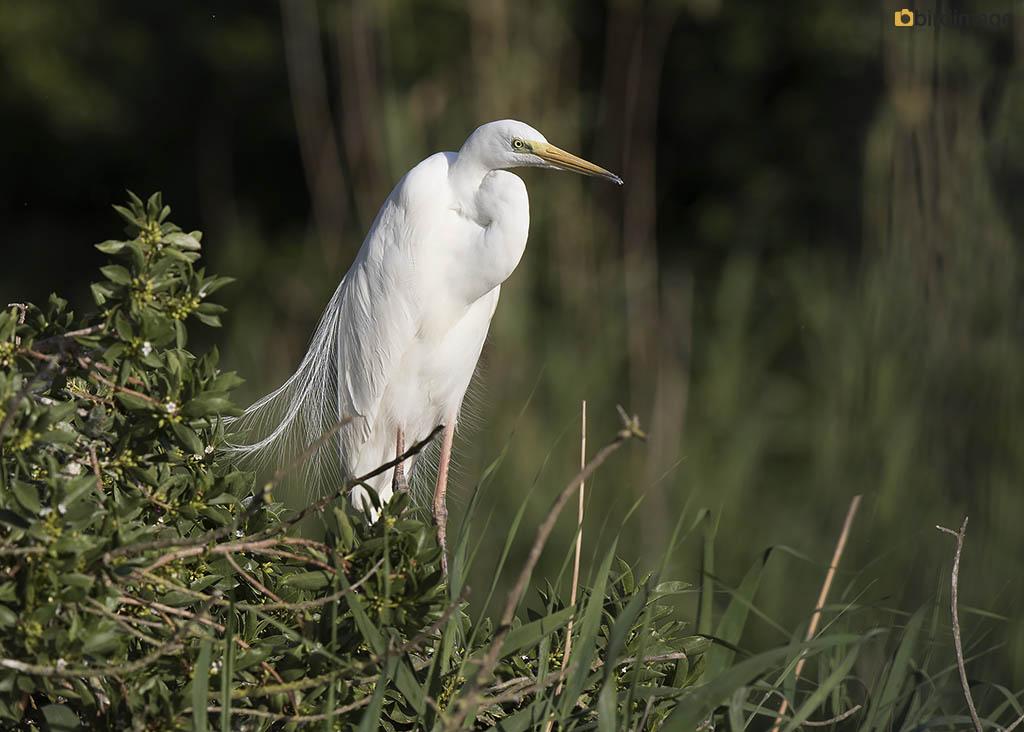 Grote zilverreiger – Great White Heron