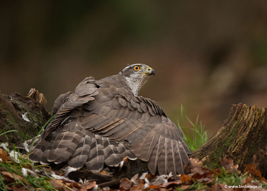 Havik – Northern Goshawk