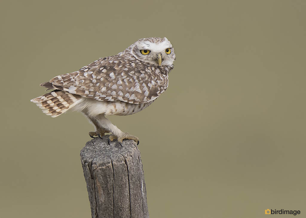 Holenuil – Burrowing owl