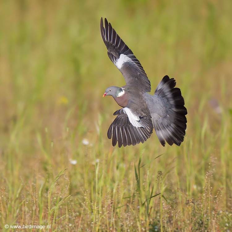 Houtduif – Common Wood Pigeon