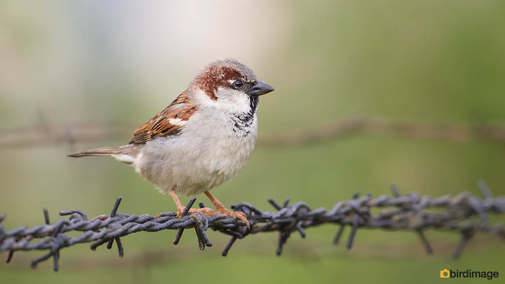 Huismus – House Sparrow