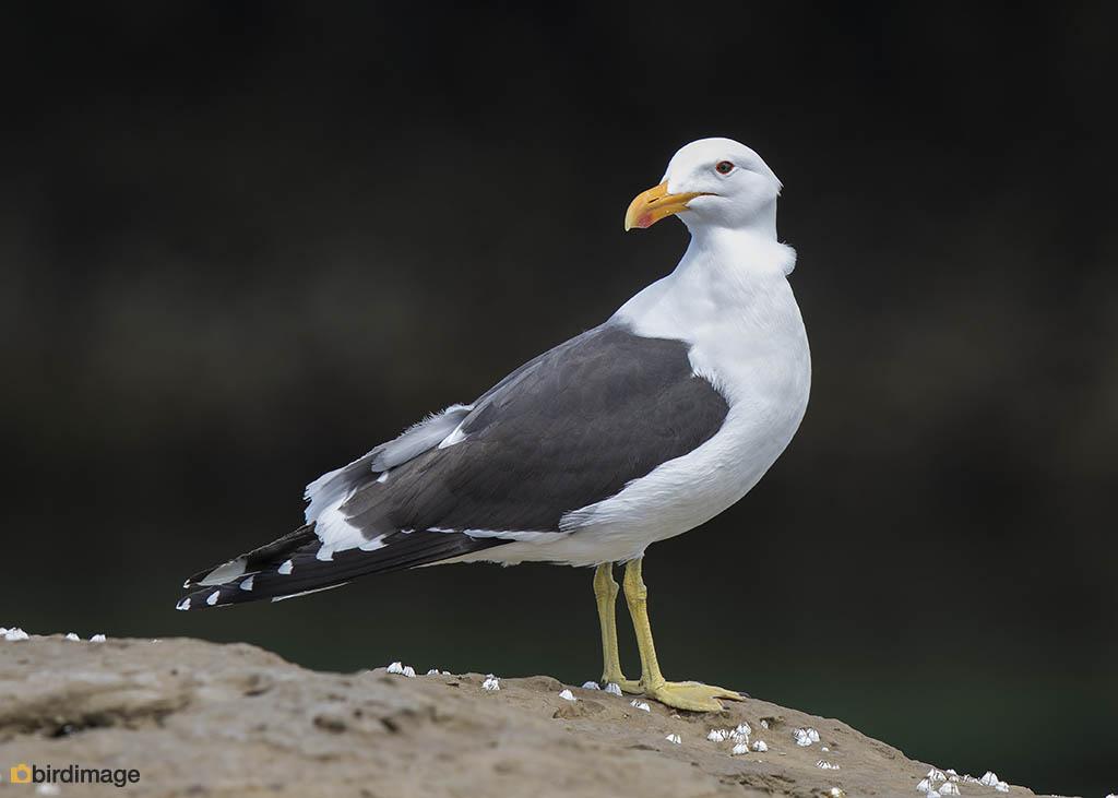 Kelpmeeuw – Kelp Gull