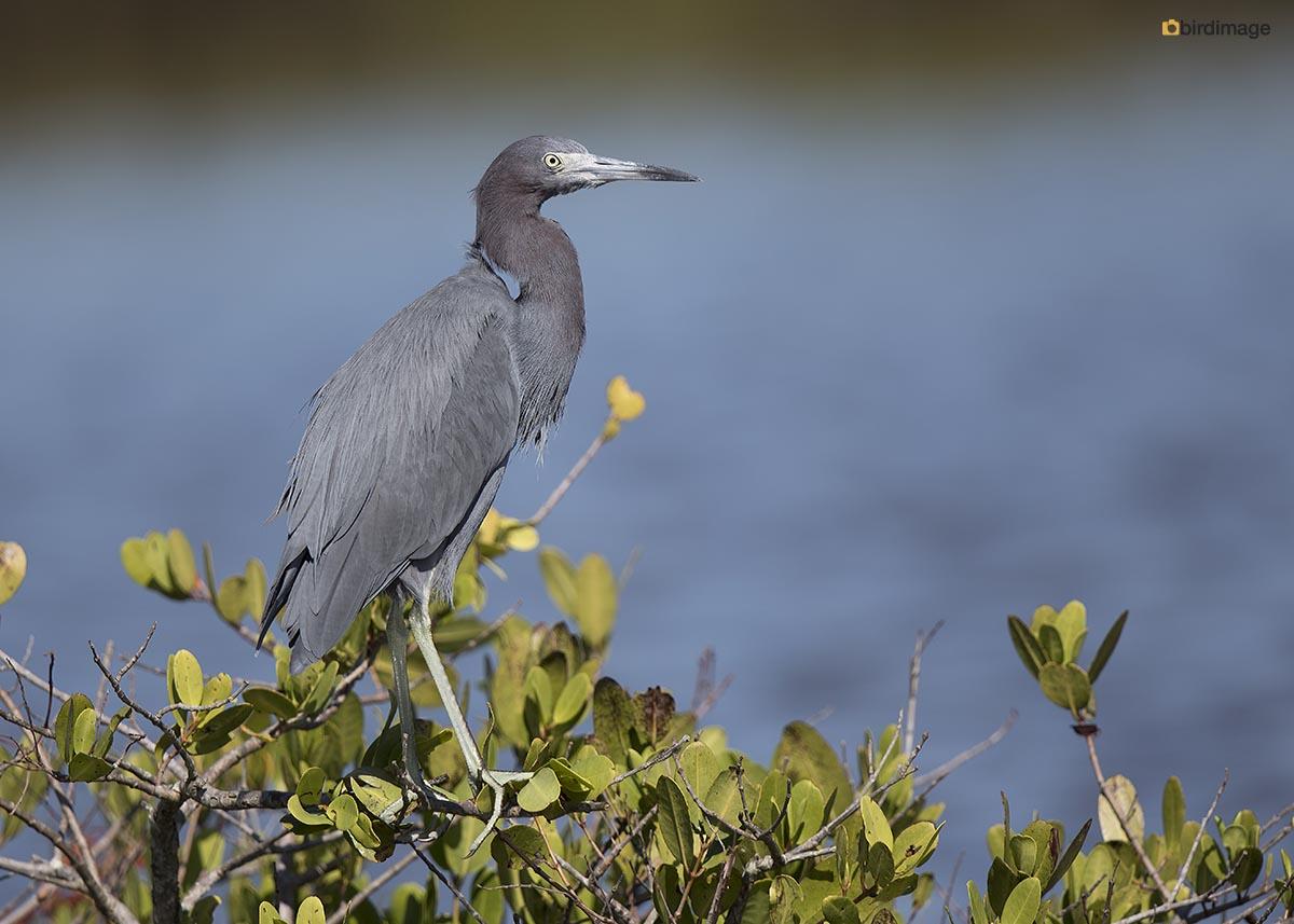 Kleine Blauwe Reiger – Little Blue Heron