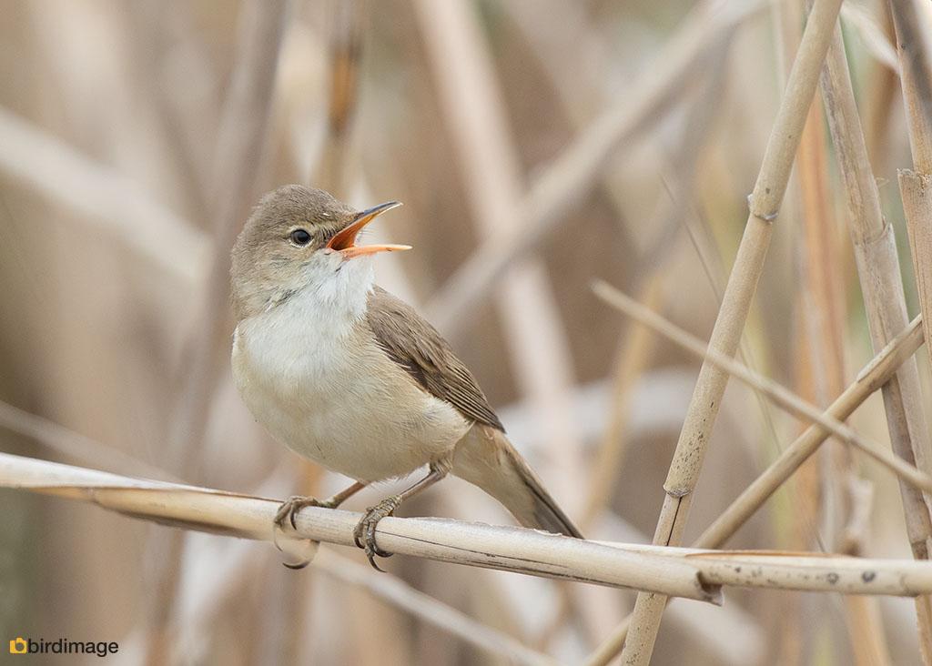 Kleine karekiet – Reedwarbler