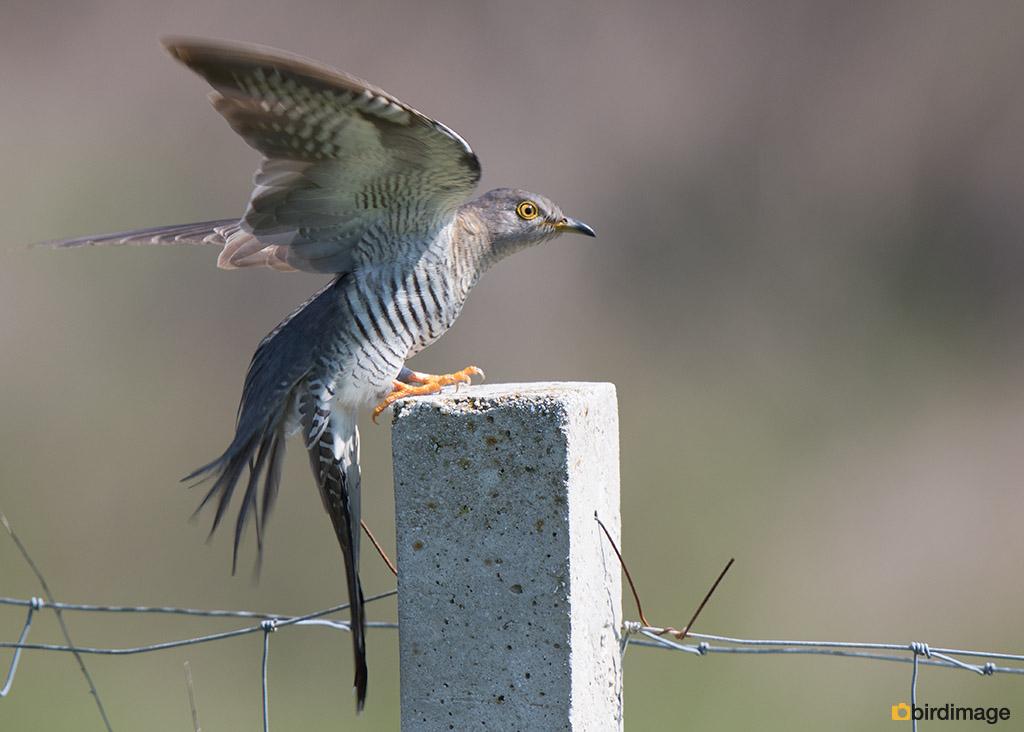 Koekoek – Cuckoo