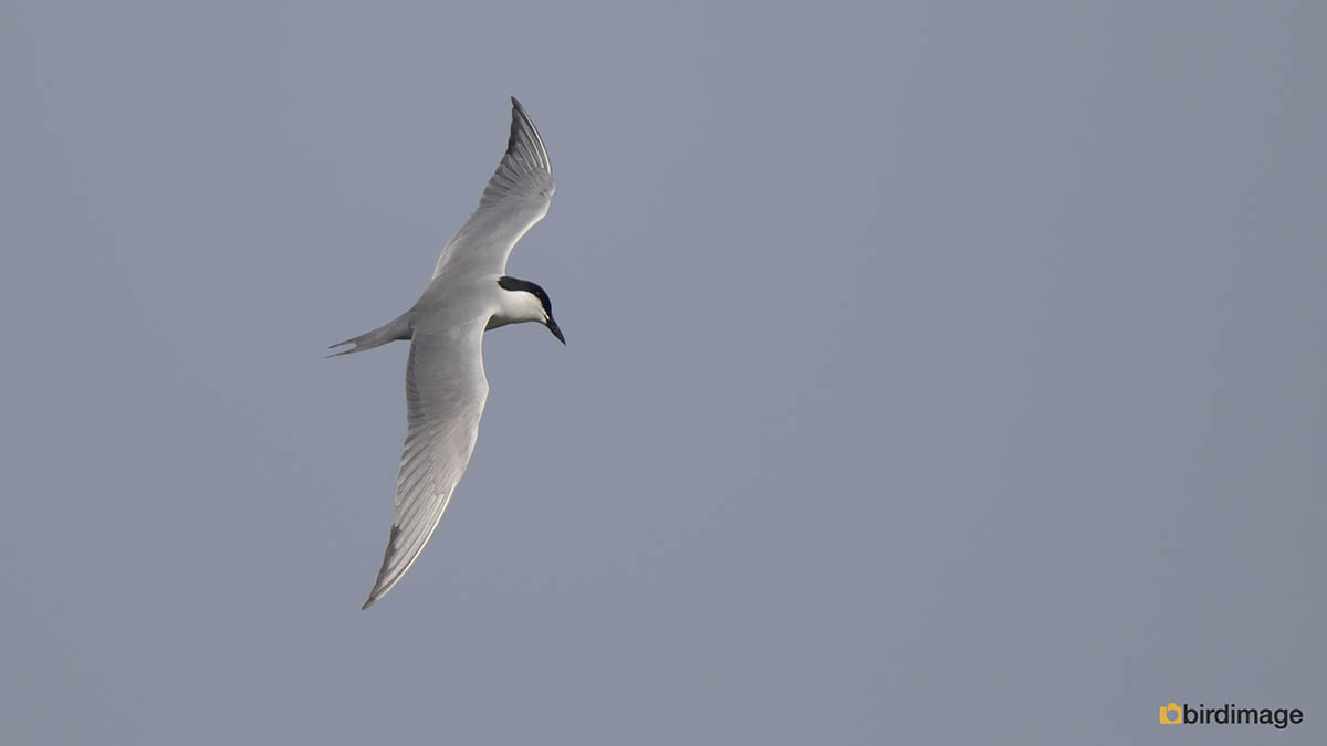 Lachstern – Gull-billed Tern