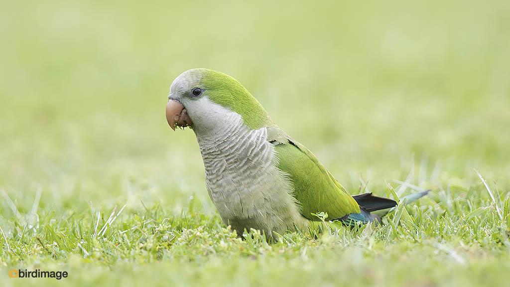 Monniksparkiet – Monk Parakeet