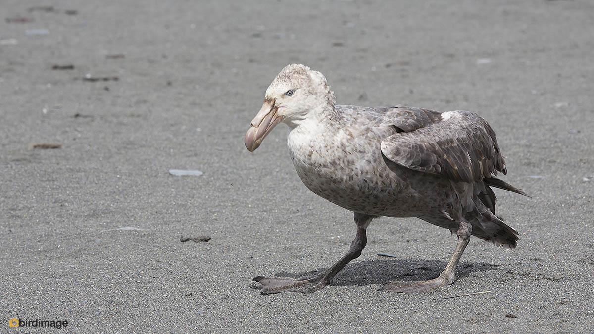 Noordelijke Reuzenstormvogel – Northern Giant Petrel