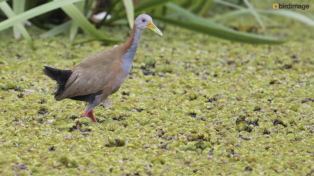 Reuzenbosral – Giant Wood Rail
