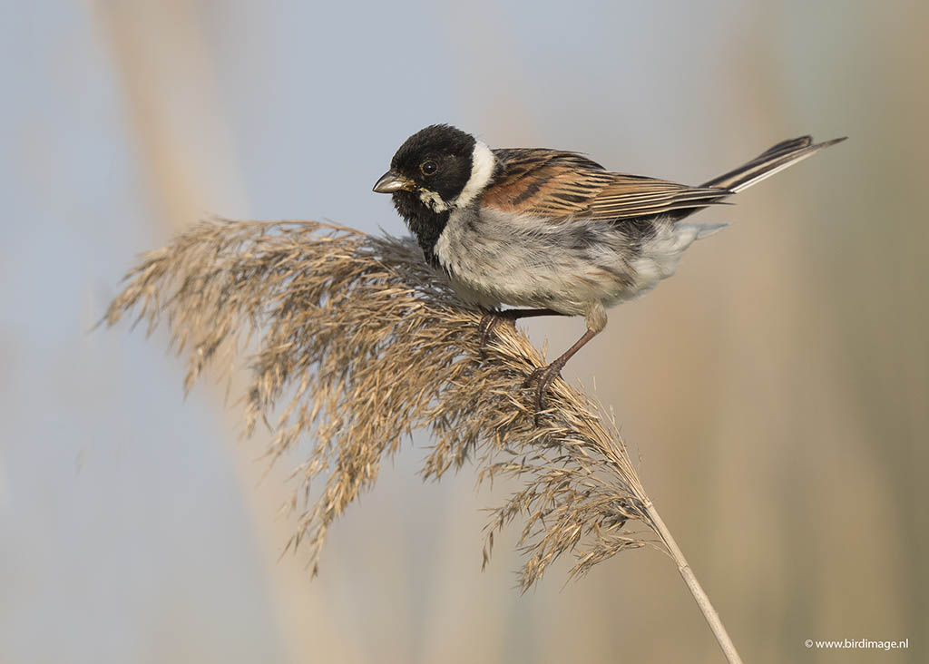 Rietgors – Reed Bunting