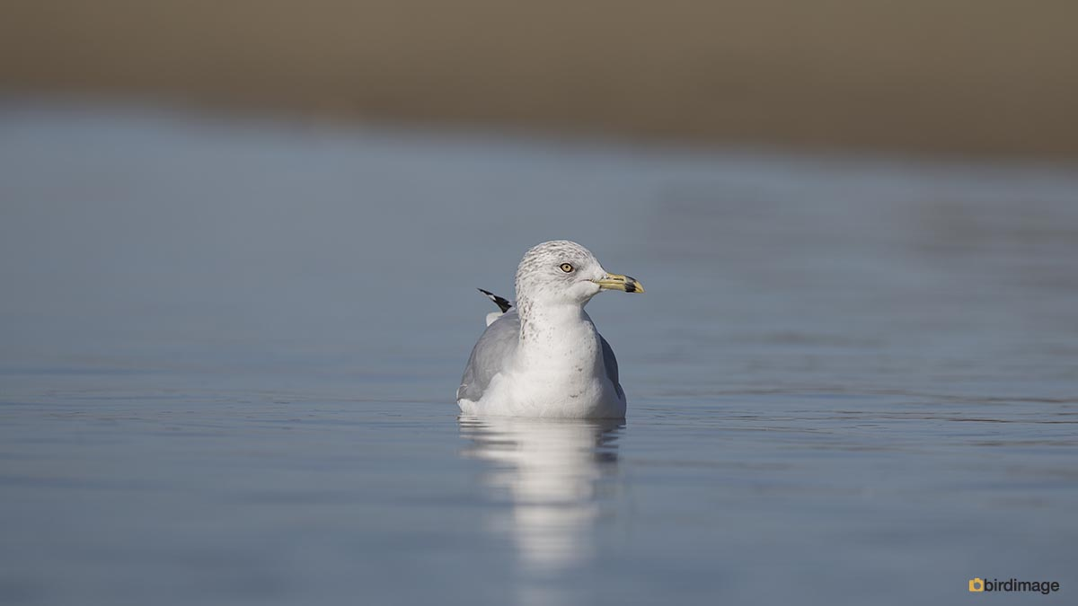 Ringsnavelmeeuw – Ring-billed Gull
