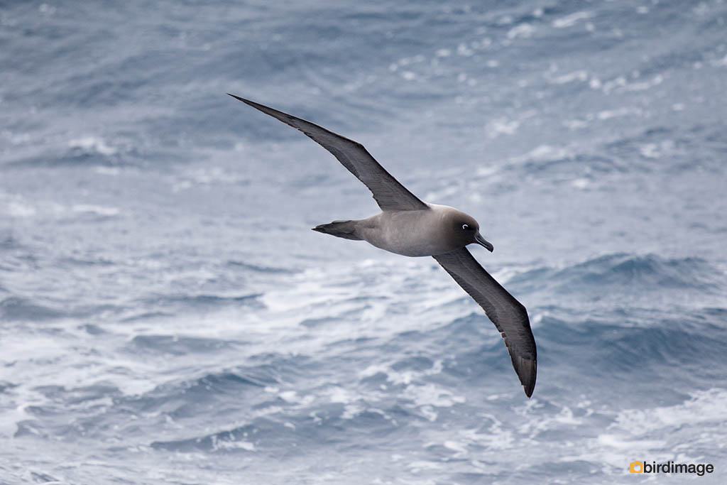 Roetkopalbatros – Light-mantled Sooty Albatross