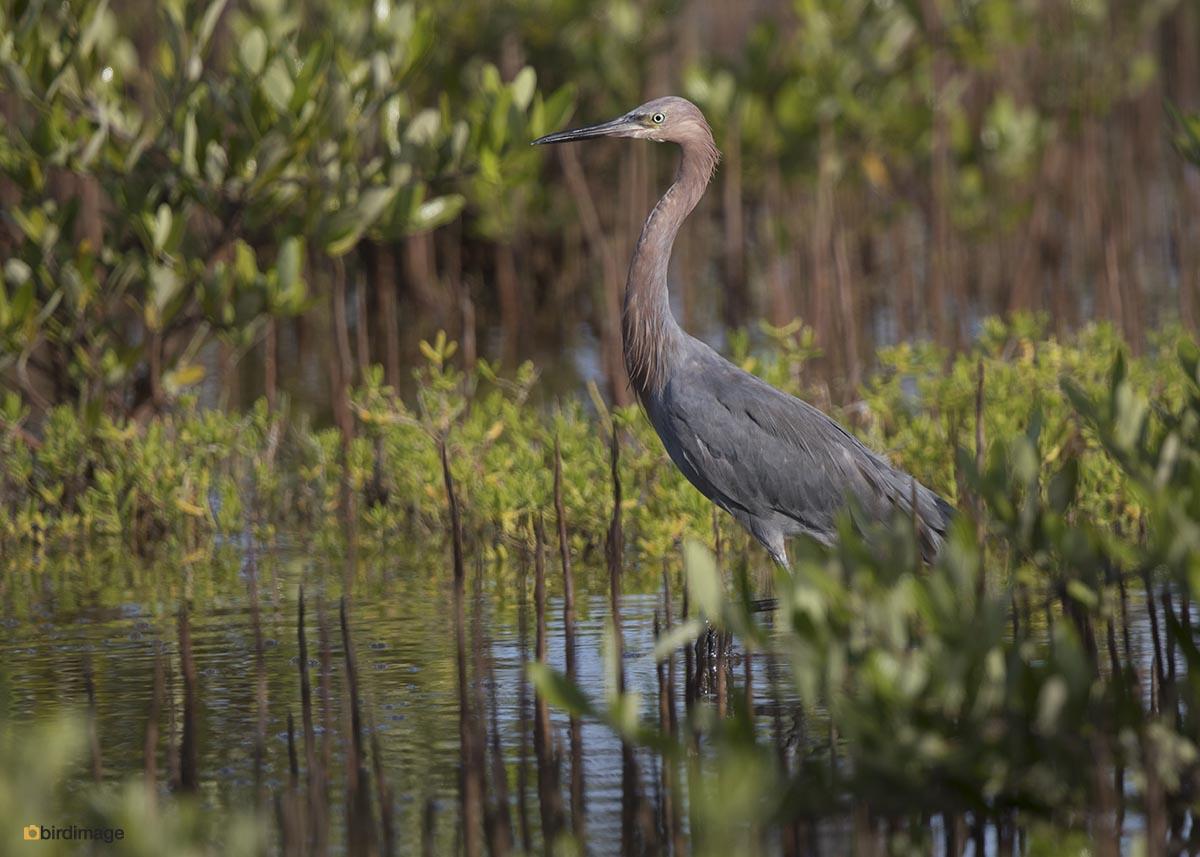 Roodhalsreiger – Reddish Egret
