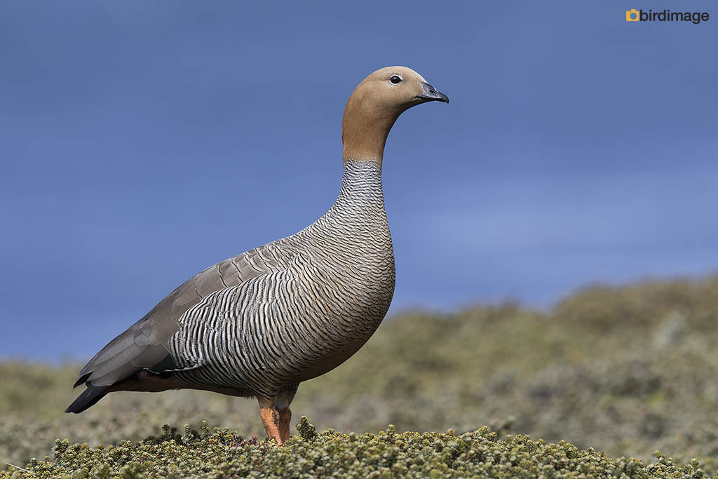 Roodkopgans – Ruddy-headed Goose