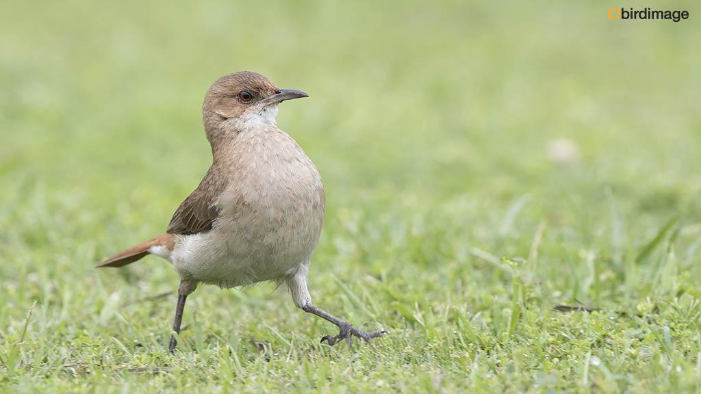 Rosse Ovenvogel – Rufous Hornero