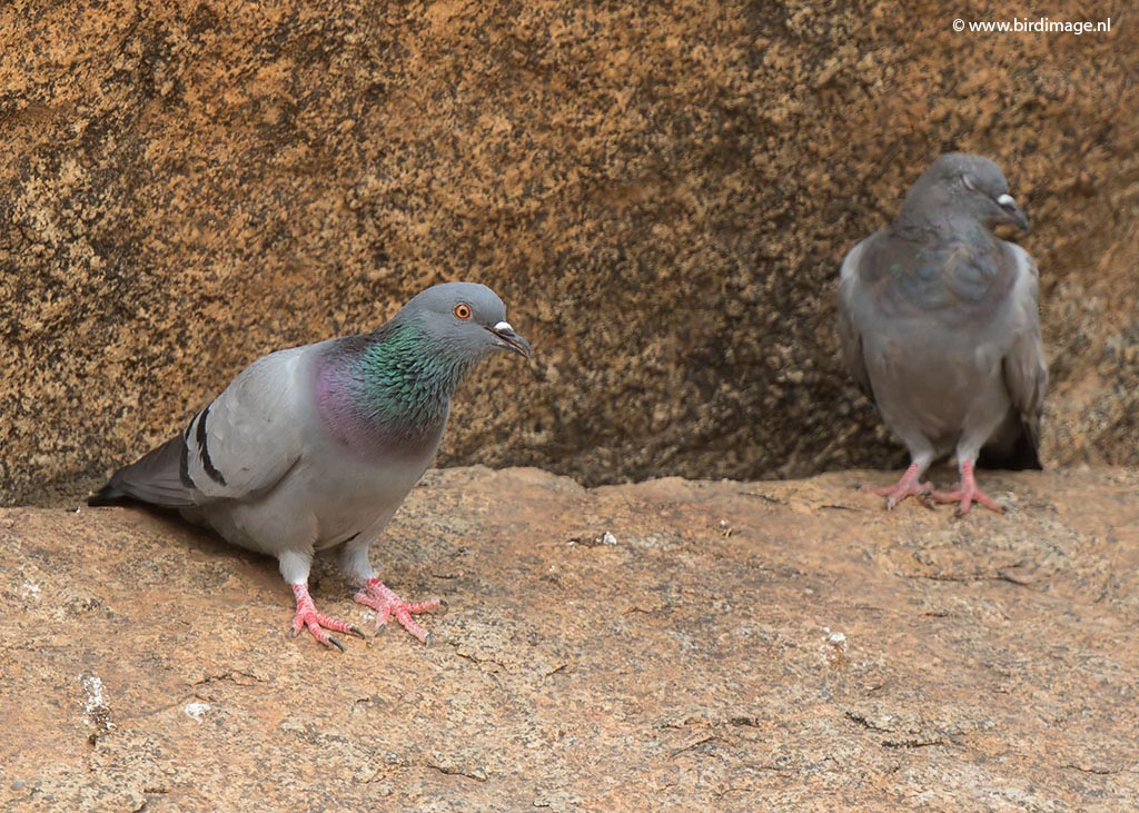 Rotsduif – Rock Dove