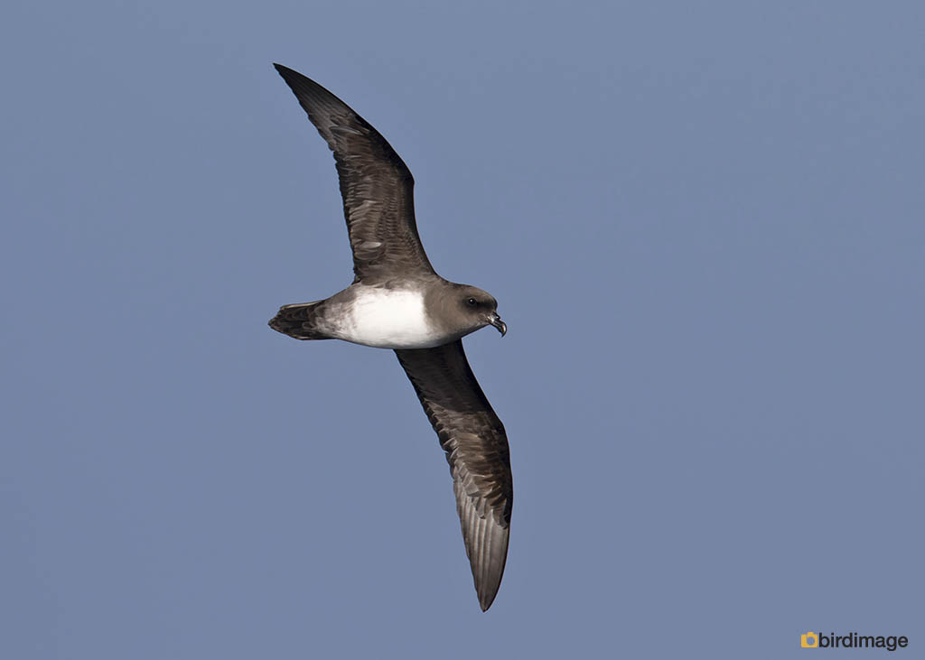 Schlegels Stormvogel – Atlantic Petrel
