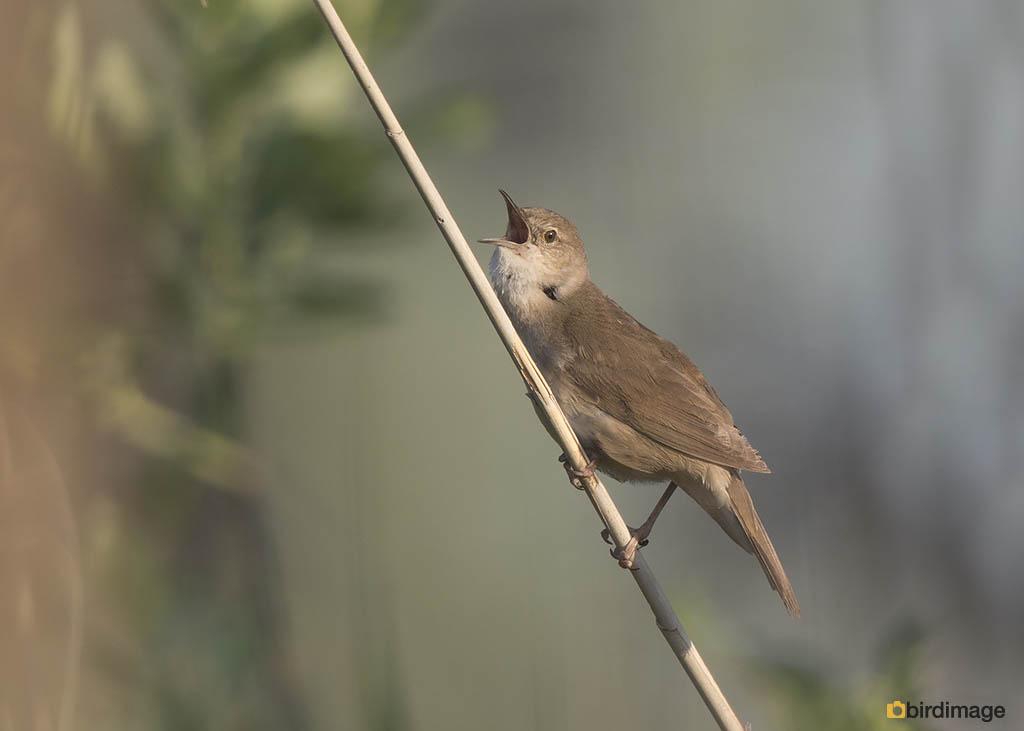 Snor – Savis Warbler