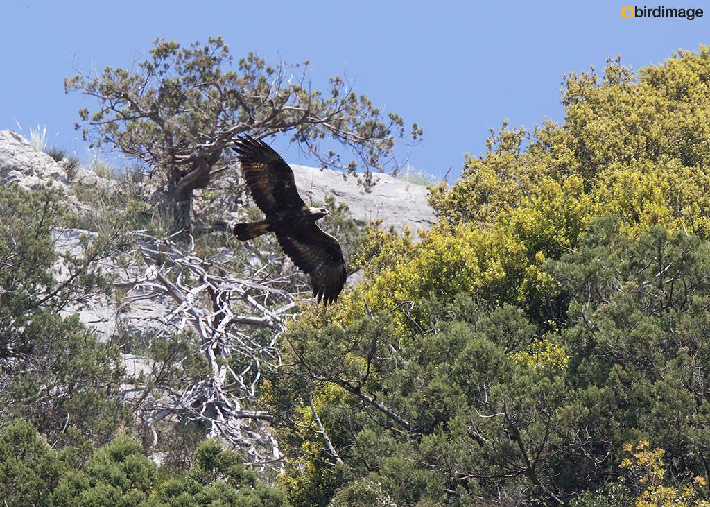 Steenarend – Golden Eagle