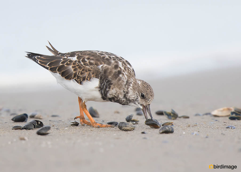 Steenloper – Ruddy Turnstone