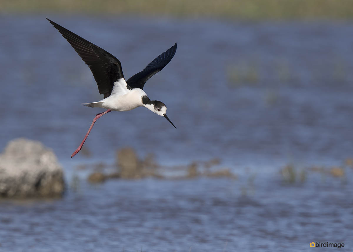Steltkluut – Black winged Stilt