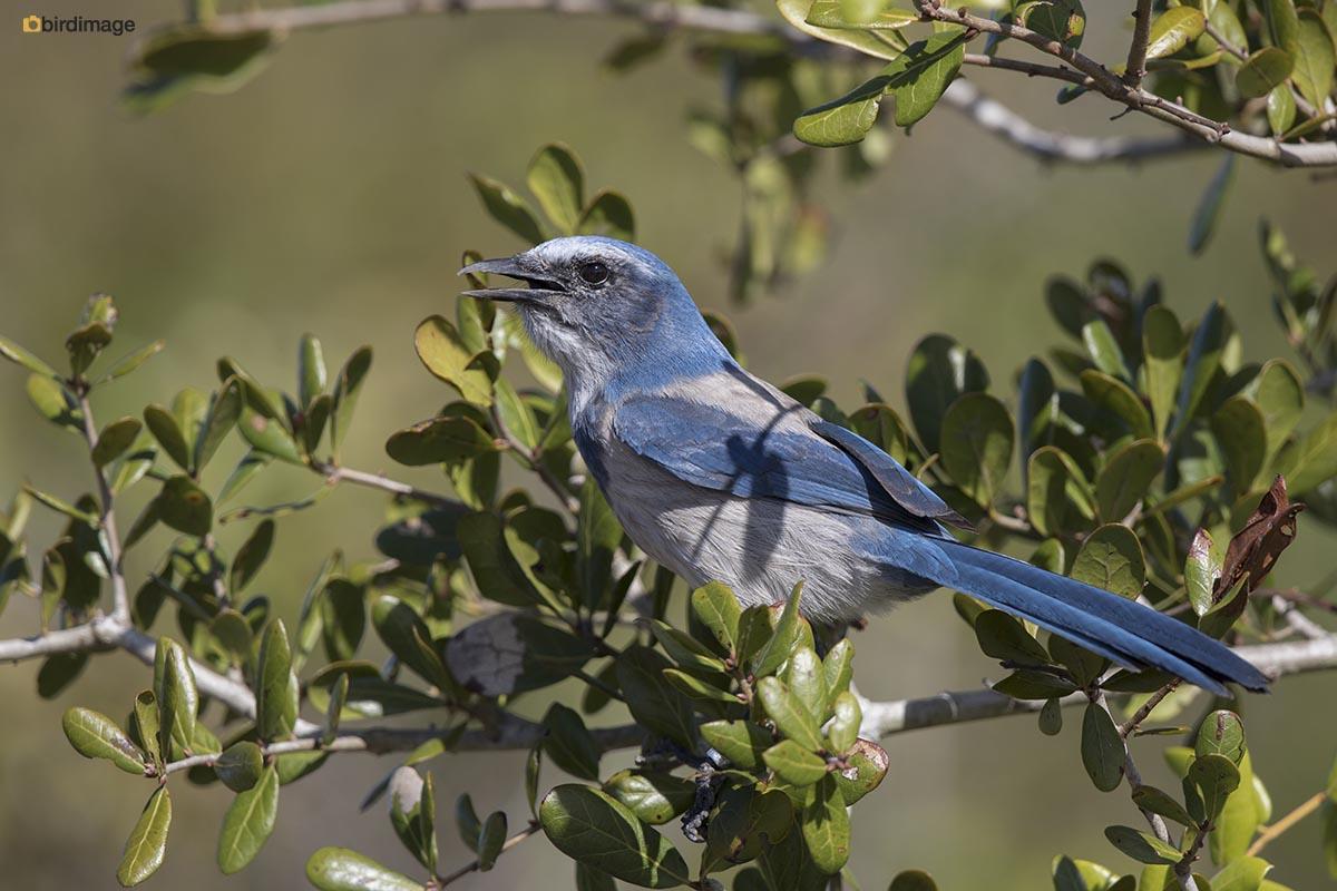 Struikgaai – Florida Scrub-Jay