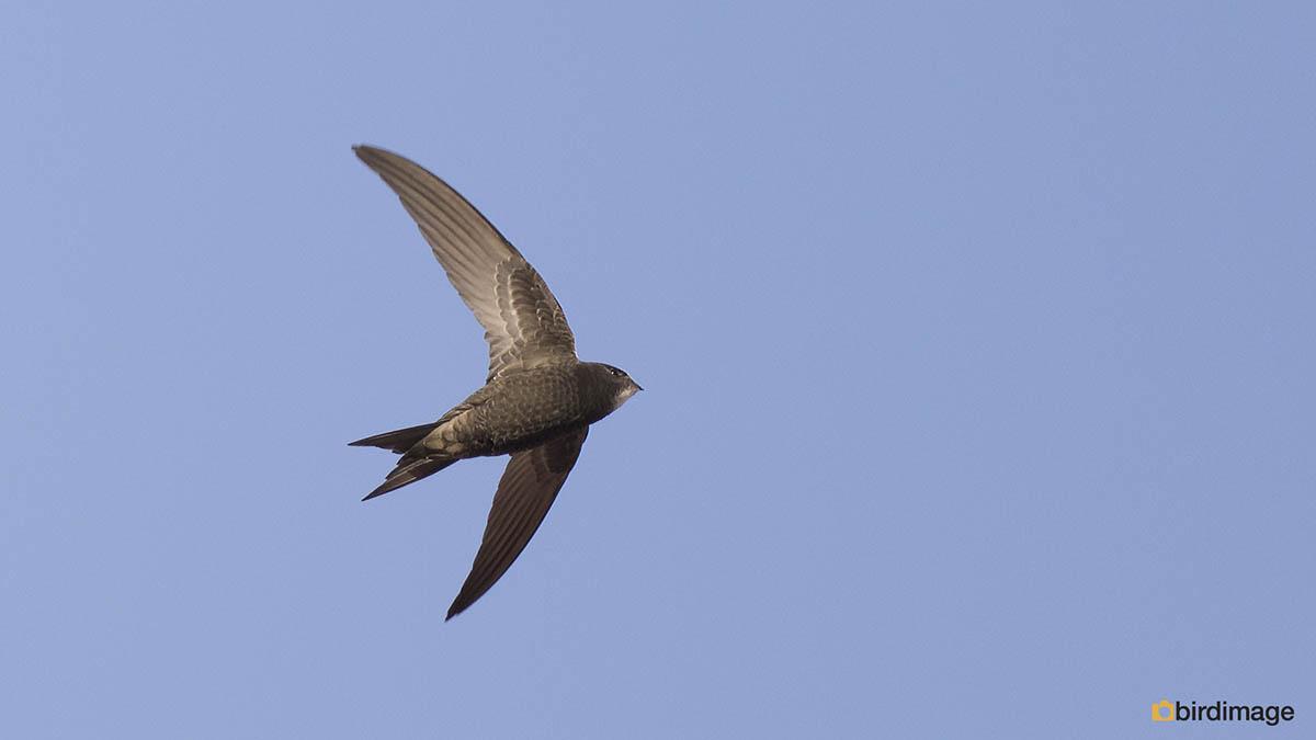 Vale gierzwaluw – Pallid Swift