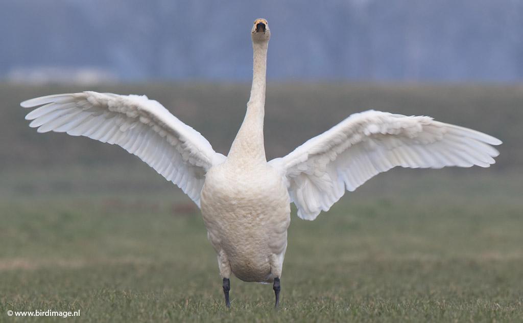 Wilde Zwaan – Whooper Swan