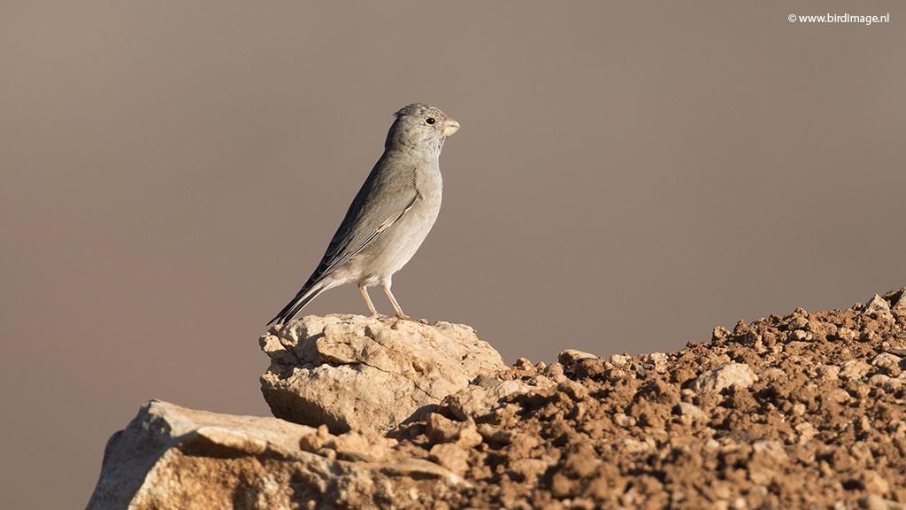 Woestijnvink – Trumpeter Finch