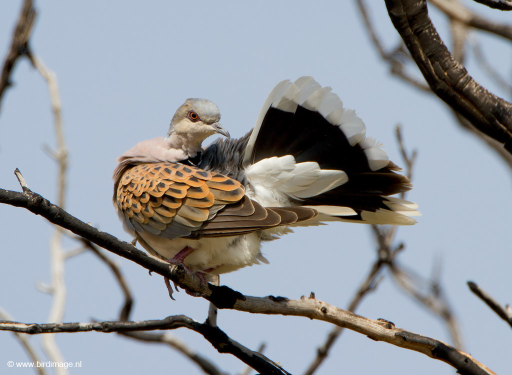 Zomertortel – European Turtle dove
