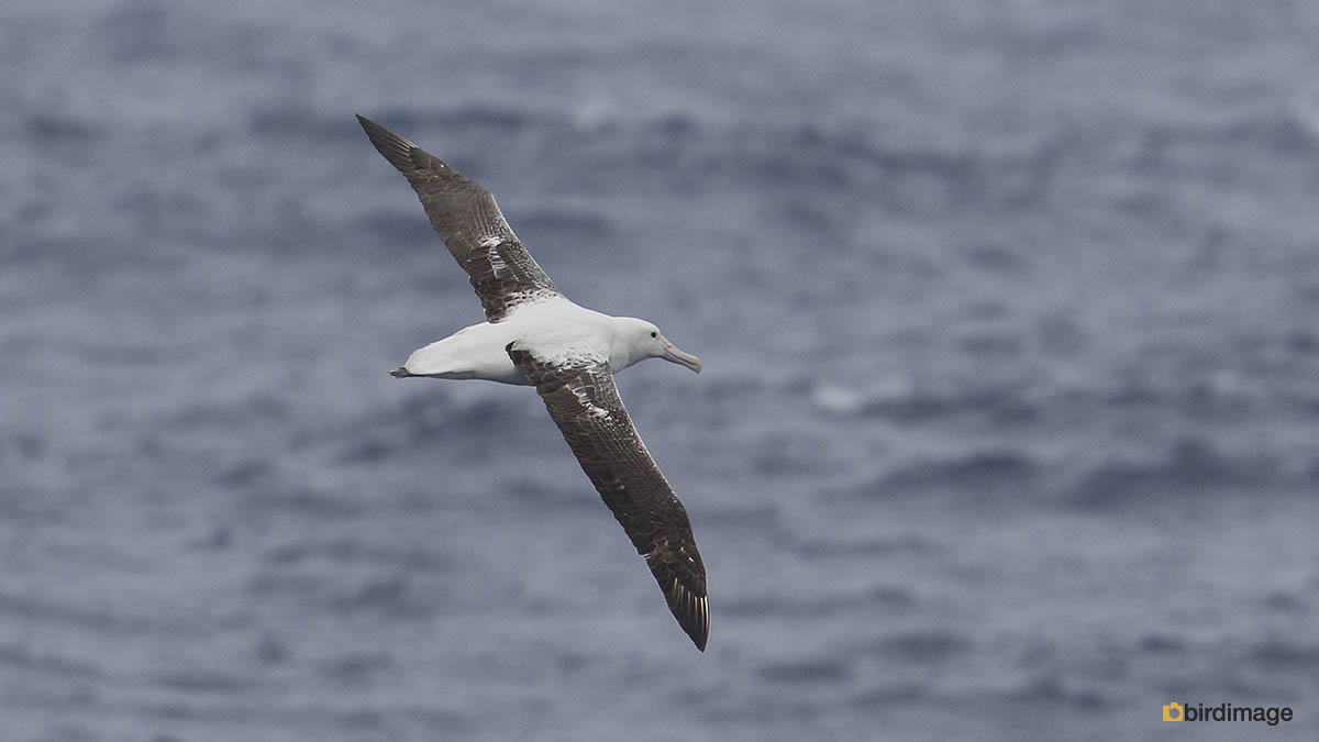 Zuidelijke Koningsalbatros – Southern Royal Albatross