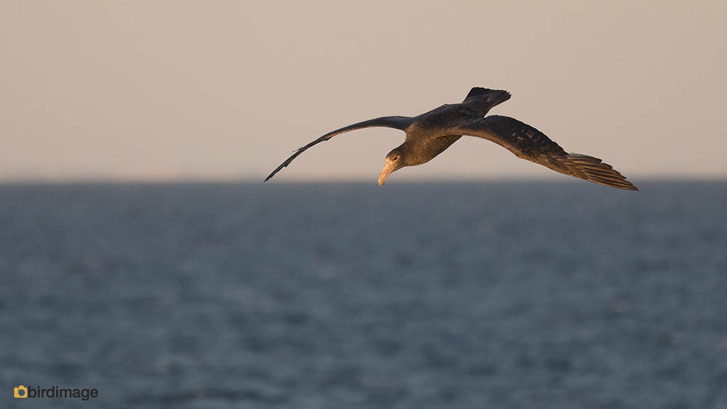 Zuidelijke Reuzenstormvogel – Southern Giant Petrel